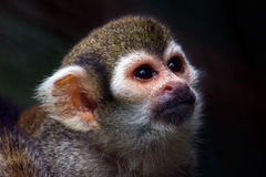 Squirrel monkey. Portrait of the squirrel monkey. Photography of wildlife Stock Photo