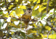 Squirrel monkey in rainforest, corcovado nat park, costa rica Royalty Free Stock Photos