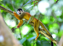 Squirrel monkey relaxing on tree branch, costa rica stock photos