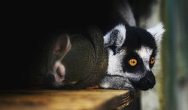 Squirrel Monkey and Ring - tailed Lemur Royalty Free Stock Image