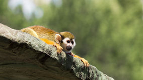 Squirrel monkey on roof of cage ,wide screen Stock Photos