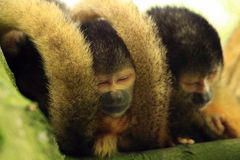 Squirrel monkey's sleeping in a tree Stock Photos
