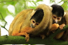 Squirrel monkey's in a tree Stock Image