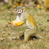Squirrel Monkey (Saimiri boliviensis) stock image