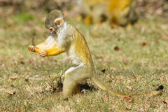 Squirrel Monkey (Saimiri boliviensis) Royalty Free Stock Images