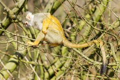 Squirrel Monkey (Saimiri boliviensis) Stock Photography