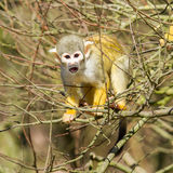 Squirrel Monkey (Saimiri boliviensis) Stock Photo