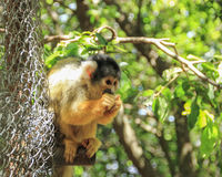 Squirrel monkey Saimiri eats sitting on a tree at the zoo. Monkey Forest in the village Yodfat, Israel Stock Images