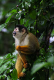Squirrel monkey - Saimiri oerstedii Royalty Free Stock Photography
