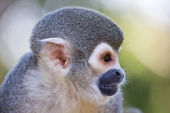 Squirrel monkey, Saimiri sciureus. Profile head view of a squirrel monkey, Saimiri sciureus Royalty Free Stock Photo