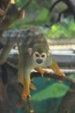 Squirrel Monkey (Saimiri sciureus) Royalty Free Stock Photos