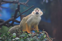 Squirrel Monkey (Saimiri sciureus) Stock Photos