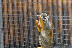 Squirrel monkey-Saimiri sciureus. It is a small monkey in South America. It is easy to domesticate and breed. It is gradually becoming a pet animal. The body is royalty free stock images