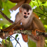 Squirrel monkey sitting on a branch Stock Image
