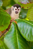 Squirrel monkey sitting on a branch Royalty Free Stock Images