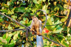 Squirrel monkey sitting on a line, Costa Rica, Manuel Antonio Royalty Free Stock Photos