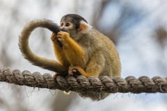 Squirrel monkey sitting on a tightrope Royalty Free Stock Images