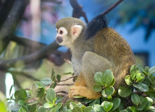 Squirrel monkey. Stock Photo