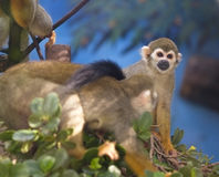 Squirrel monkey. Stock Photography