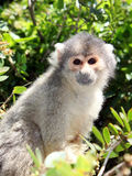 Squirrel monkey sitting on tree branch Stock Images