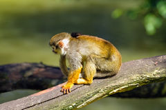 Squirrel monkey sitting on a tree branch Royalty Free Stock Photography