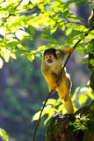 Squirrel monkey sitting on tree branch. Stock Photography