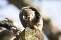 Squirrel monkey sitting on treetrunk Royalty Free Stock Photo