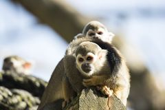 Squirrel monkey sitting on treetrunk Royalty Free Stock Photography