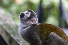 Squirrel Monkey Sky Gazing Royalty Free Stock Photography