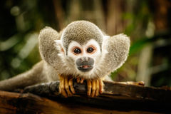 Squirrel monkey. Small squirrel monkey in ecuadorian jungle royalty free stock image