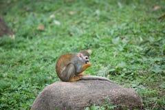 Squirrel monkey Stock Photography