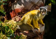 Squirrel Monkey. Also known as Saimiri boliviensis. Sitting on a tree trunk in the sun royalty free stock photos