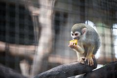 Squirrel monkey eating fruit in the zoo stock photography