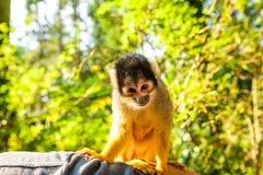 Squirrel monkey. Saimiri boliviensis sitting on the man`s hand royalty free stock photos