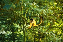 Squirrel monkey. Saimiri boliviensis sitting on the tree branch with green leaves stock image