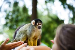 Squirrel monkey. Saimiri boliviensis sitting on the woman shoulder stock photography