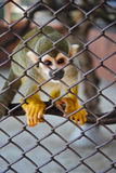 Squirrel Monkey,Squirrel monkeys in a zoo cage,Beautiful and adorable squirrel monkeys,Colorful squirrel monkey,monkey,small monke Royalty Free Stock Photo