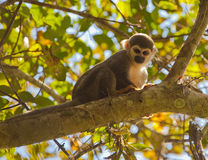 Squirrel Monkey on tree Royalty Free Stock Image