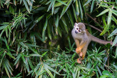 Squirrel Monkey on the tree Stock Image
