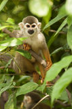 Squirrel Monkey. A squirrel monkey is  in the tree Royalty Free Stock Photos