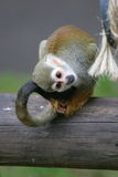 Squirrel Monkey on tree. Squirrel Monkey looking inquisitively at rope royalty free stock photos