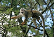 Squirrel monkey in portrait climbing in the branches of a tree gripping branches with all 4 paws royalty free stock image