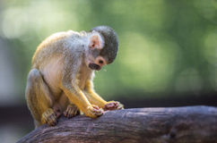 Squirrel Monkey in tree Stock Photography