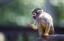 Squirrel Monkey in tree Royalty Free Stock Photography