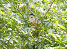 Squirrel monkey in tree, corcovado nat park, costa rica Stock Image