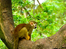 A squirrel monkey on a tree Stock Photo