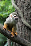 Squirrel Monkey on Tree 2 Stock Photography