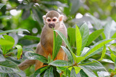 Squirrel monkey on a tree Stock Photos