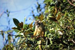 Squirrel monkey in a tree royalty free stock photo