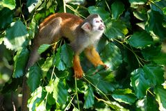 Squirrel Monkey on Tree. Is looking up and preparing to the jump Royalty Free Stock Image